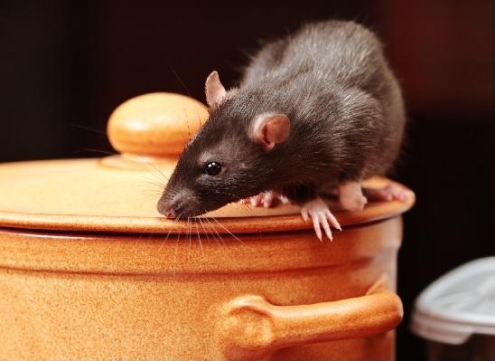 muizen bestrijden in restaurant Gouda